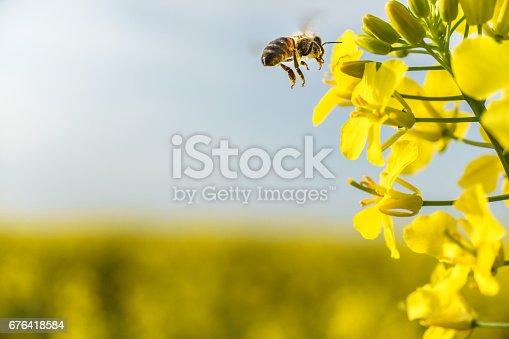 istock Working bee flying on canola field 676418584