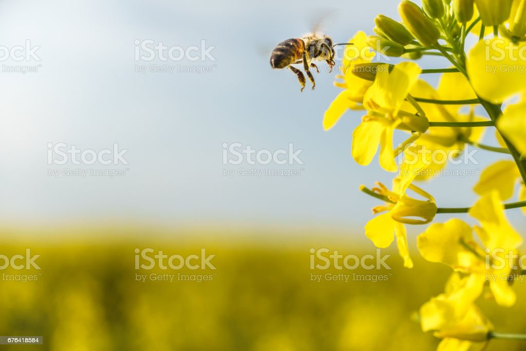 Working bee flying on canola field stock photo