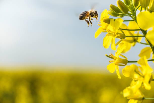 working bee flying on canola field - ape domestica foto e immagini stock