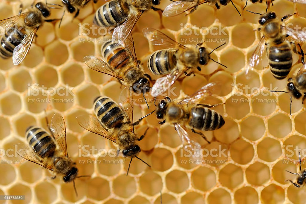 Working bees on honeycells stock photo