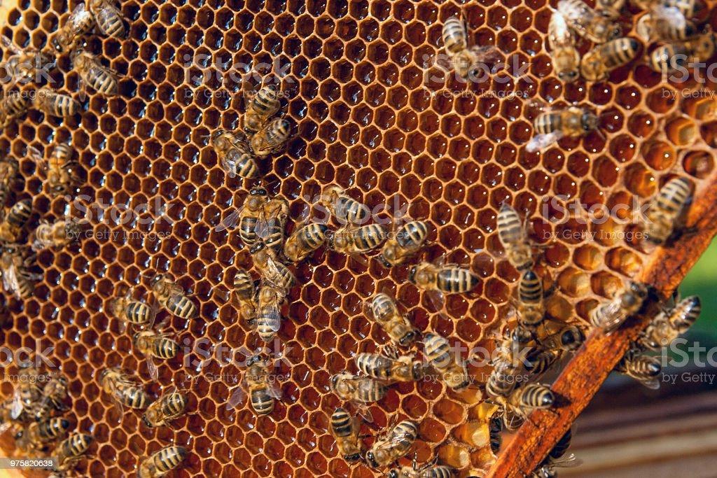 Arbeits-Bienen auf den Waben mit süßem Honig. - Lizenzfrei Berufliche Beschäftigung Stock-Foto