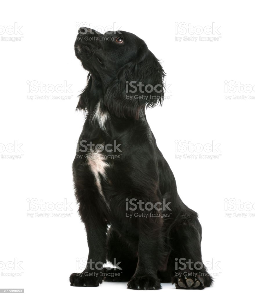 Working Cocker Spaniel sitting and looking up against white background stock photo