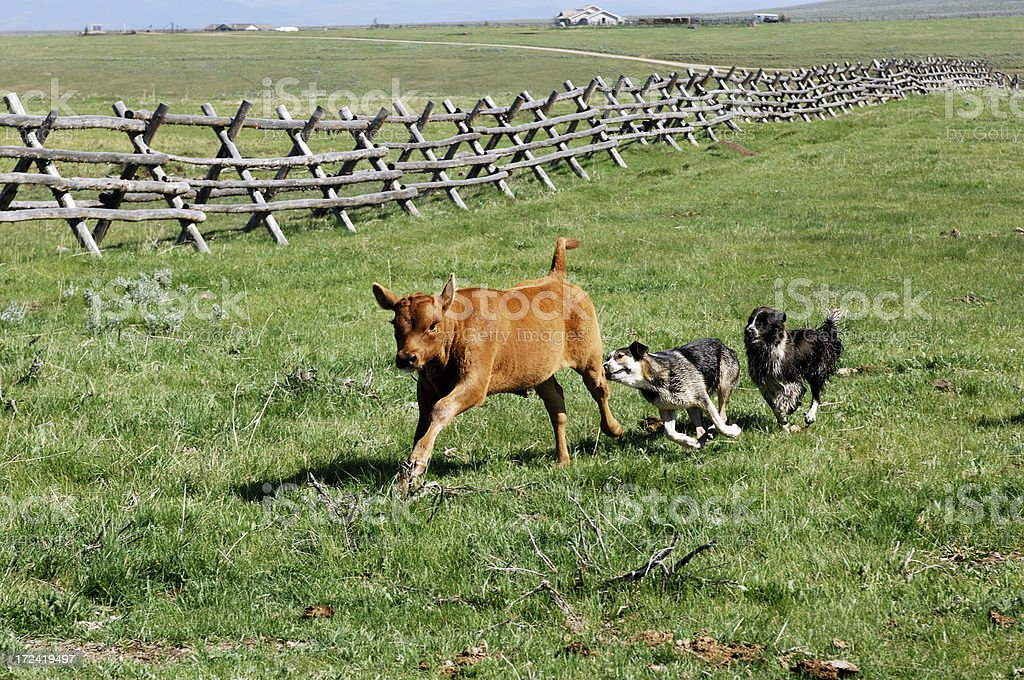 Working Cow Dogs stock photo