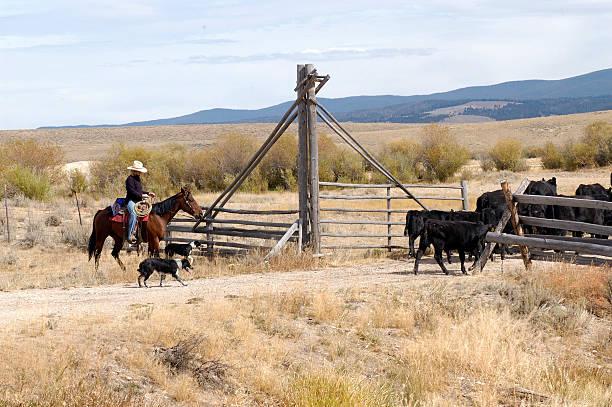 Working Cowgirl stock photo