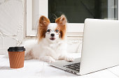 istock working dog. Cute dog is working on a silver laptop with a cup of coffee. Dog breed : Continental Toy Spaniel Papillon. 1128863126