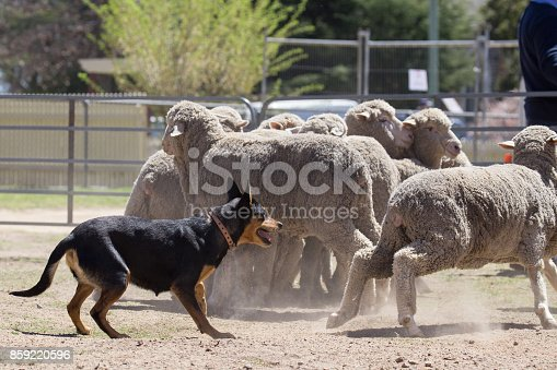 At the 2017 Boorowa Irish Woolfest a couple of working dogs give a demonstration on how to round up sheep. Enclosed in a small pen, their master handles them as they keep the sheep together in a bunch and move them around the pen.