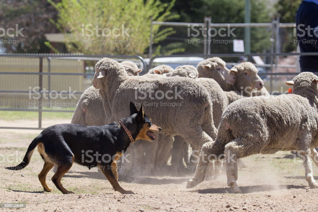 Working dog Kelpie stays close to her flock of sheep stock photo