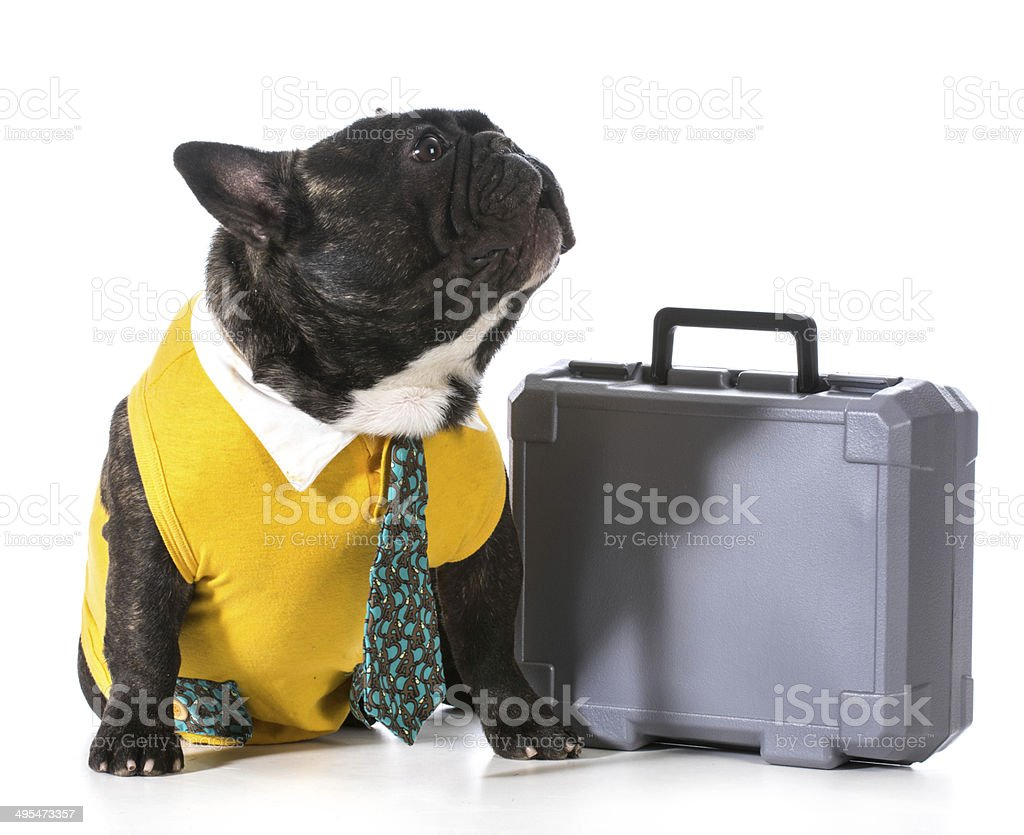 working dog working dog - french bulldog with silly expression sitting beside briefcase Adult Stock Photo