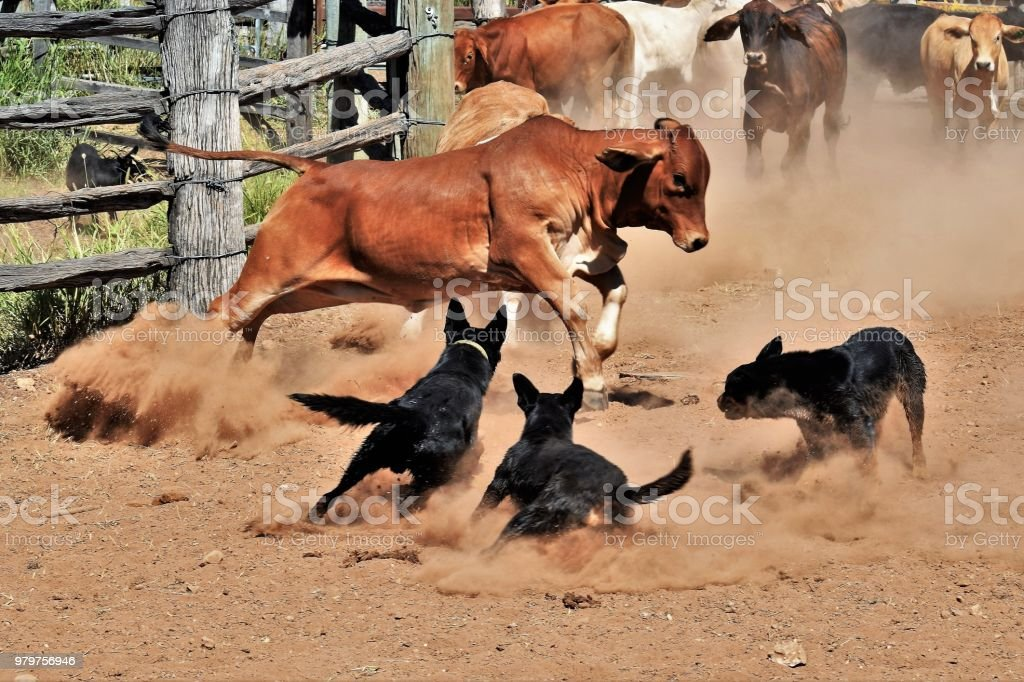 Working dogs blocking cattle up stock photo