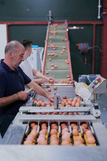 sanft aber effizient arbeiten - eierverpackung stock-fotos und bilder