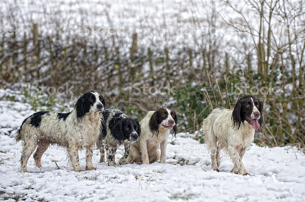 Working gundogs ready for action stock photo