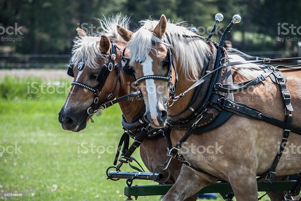 Working harness horses stock photo