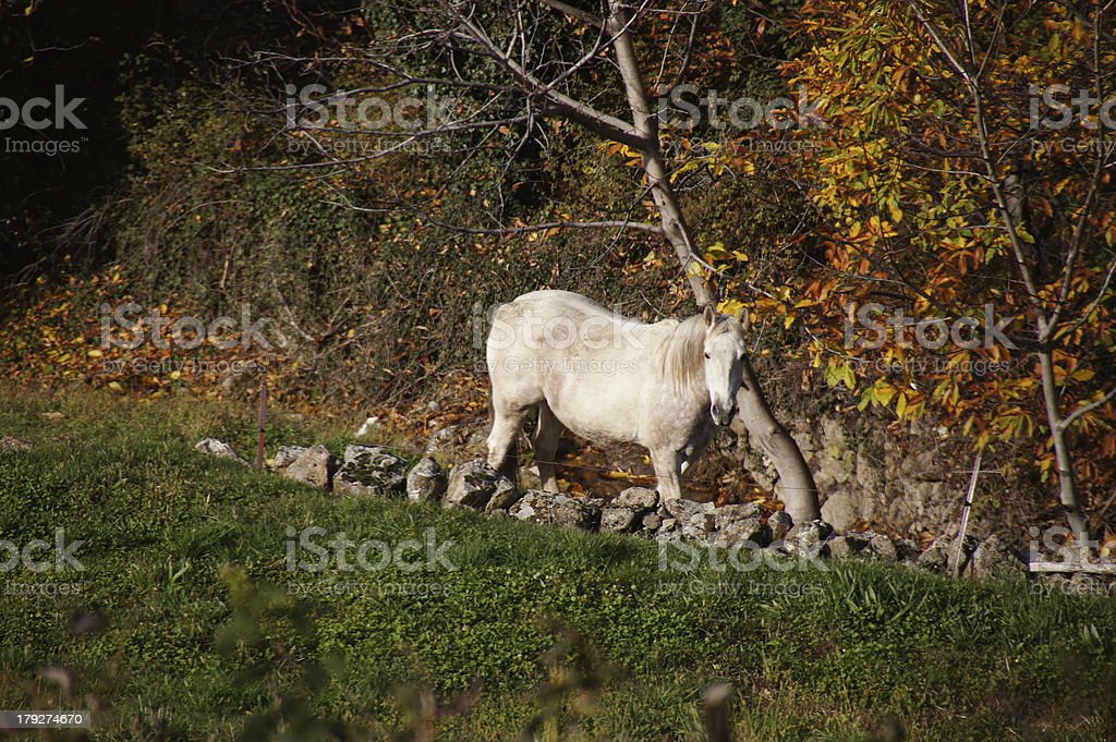 working horse in Guijo royalty-free stock photo