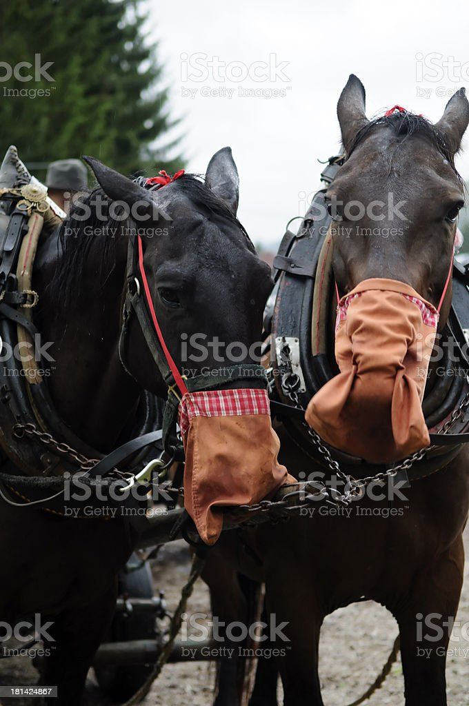 Working horses are eating royalty-free stock photo