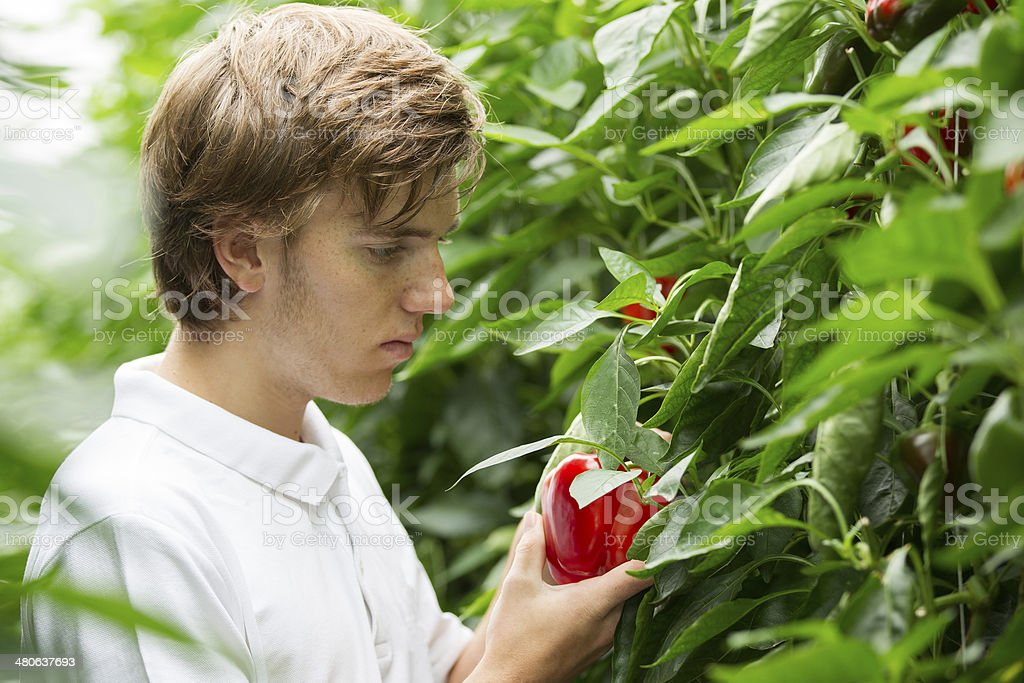 Working in a glasshouse, looking at red pepper royalty-free stock photo