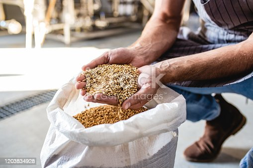 Wheat in the hands of a man working at a craft beer factory