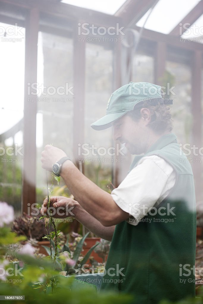 Working in greenhouse royalty-free stock photo