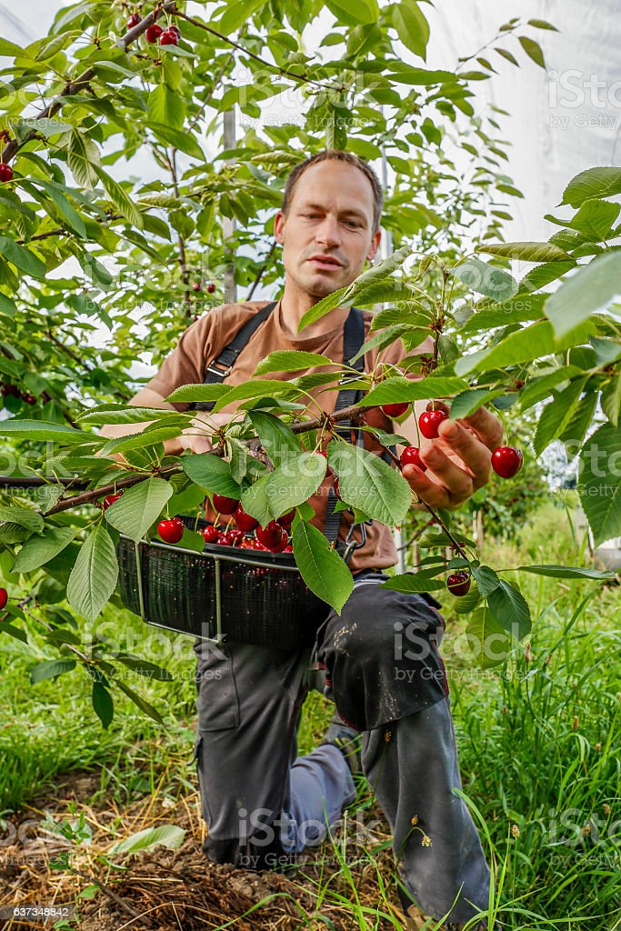 Working in the cherry orchard. – Foto