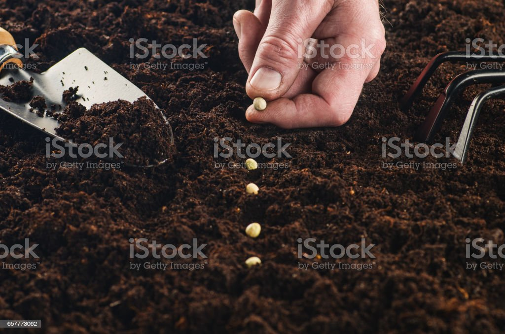 Working in the garden, seeding a plant. Soil top view. stock photo