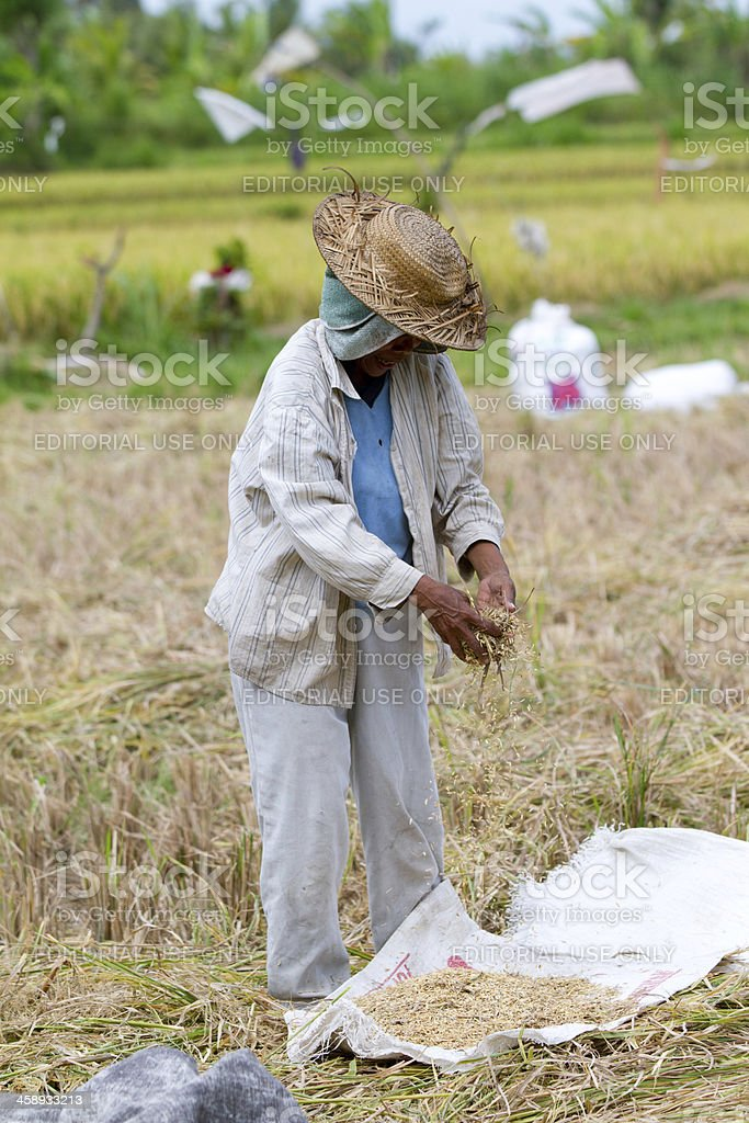 working in the rice fields, Bali, Indonesia royalty-free stock photo
