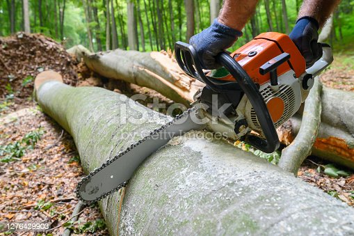 Cutting the trunk.Wind disaster in the forest. Uprooted tree. Deciduous beech forest.