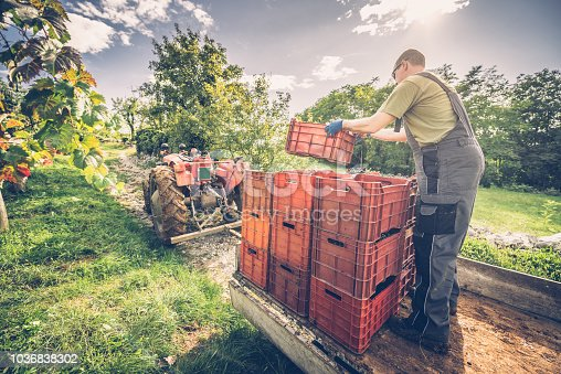 Farmer working in  vineyard