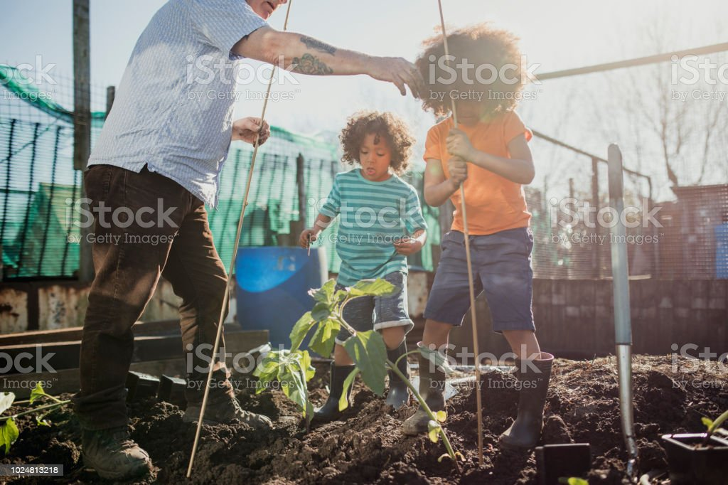 Working on the Allotment with Grandad Two little boys are planting sunflowers at the allotment with their grandfather. 4-5 Years Stock Photo