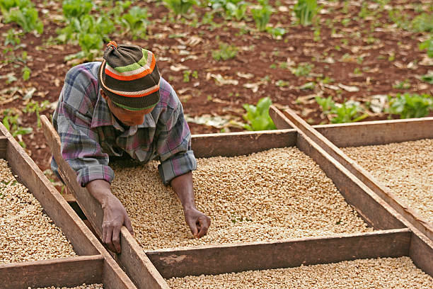Working on the Coffee Plantation stock photo