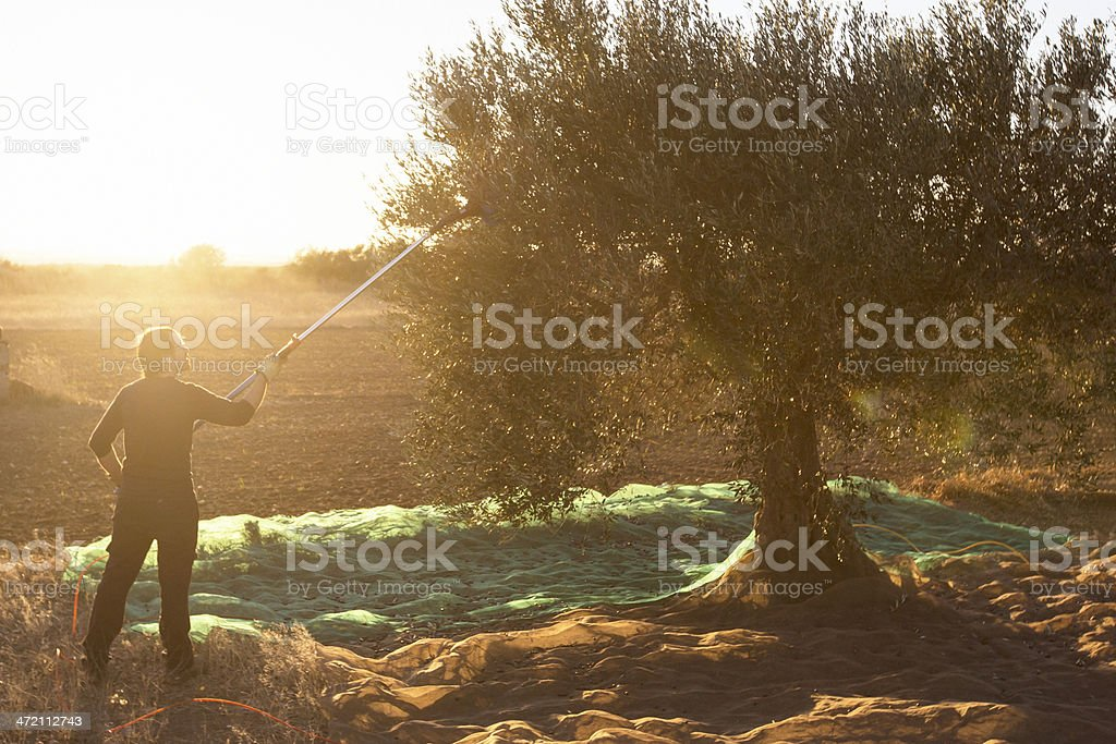 Working on the olives trees stock photo