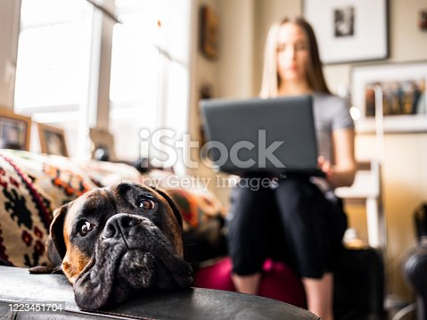 COVID-19 pandemic:  young woman, professional  working online on her laptop from her home in the city during coronavirus  lock-down in Canada. She is in the living room inside her home with her boxer dog keeping her company.