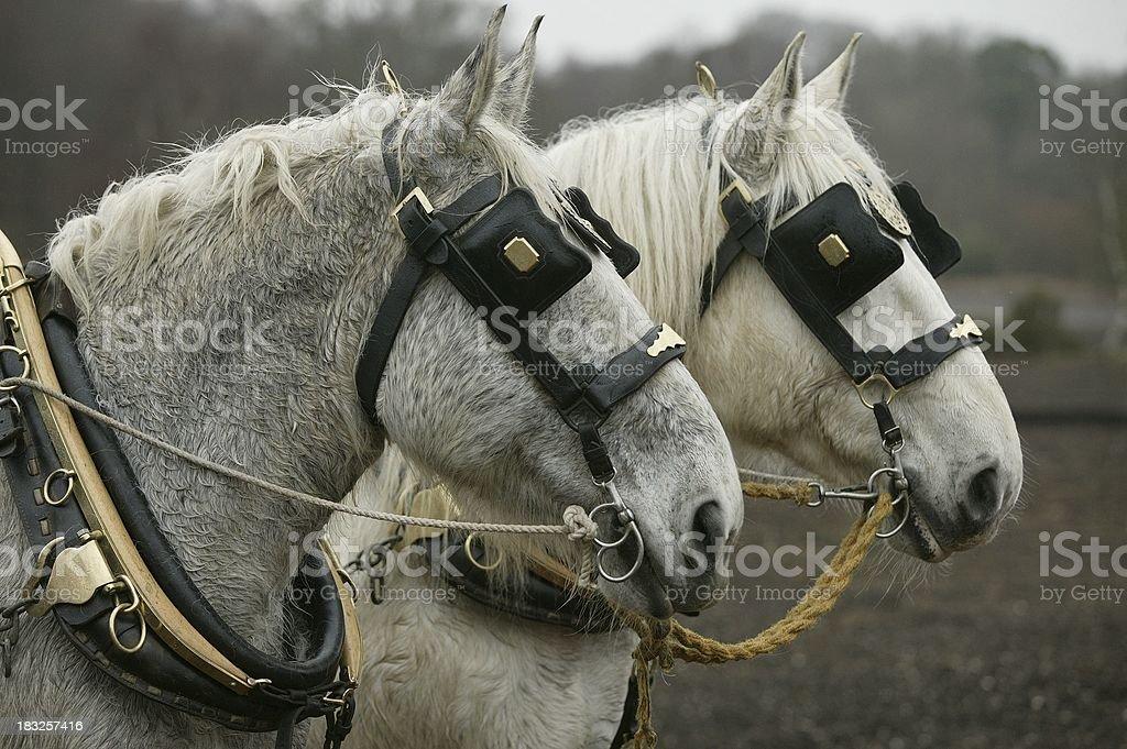 Working pair royalty-free stock photo
