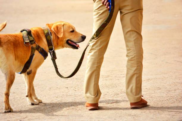 Working police dog stock photo