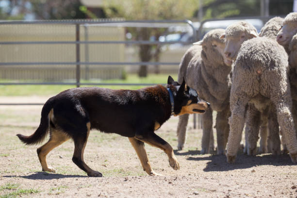 Working sheep dog kelpie keeps a tight rein on a flock of sheep stock photo