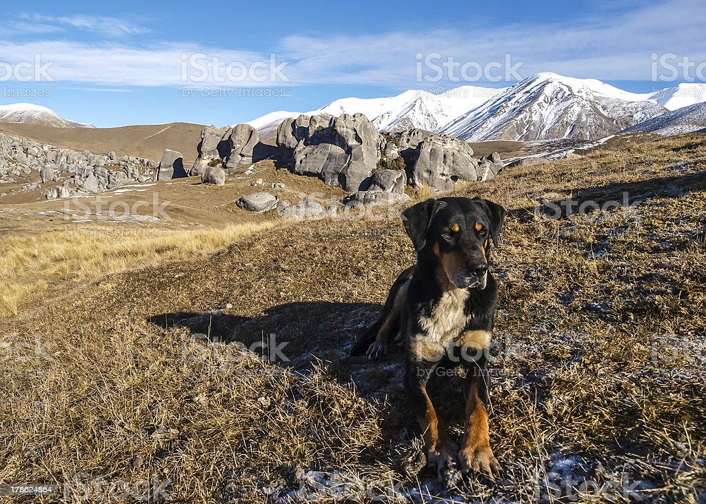 Working Sheep Dog taking a rest stock photo