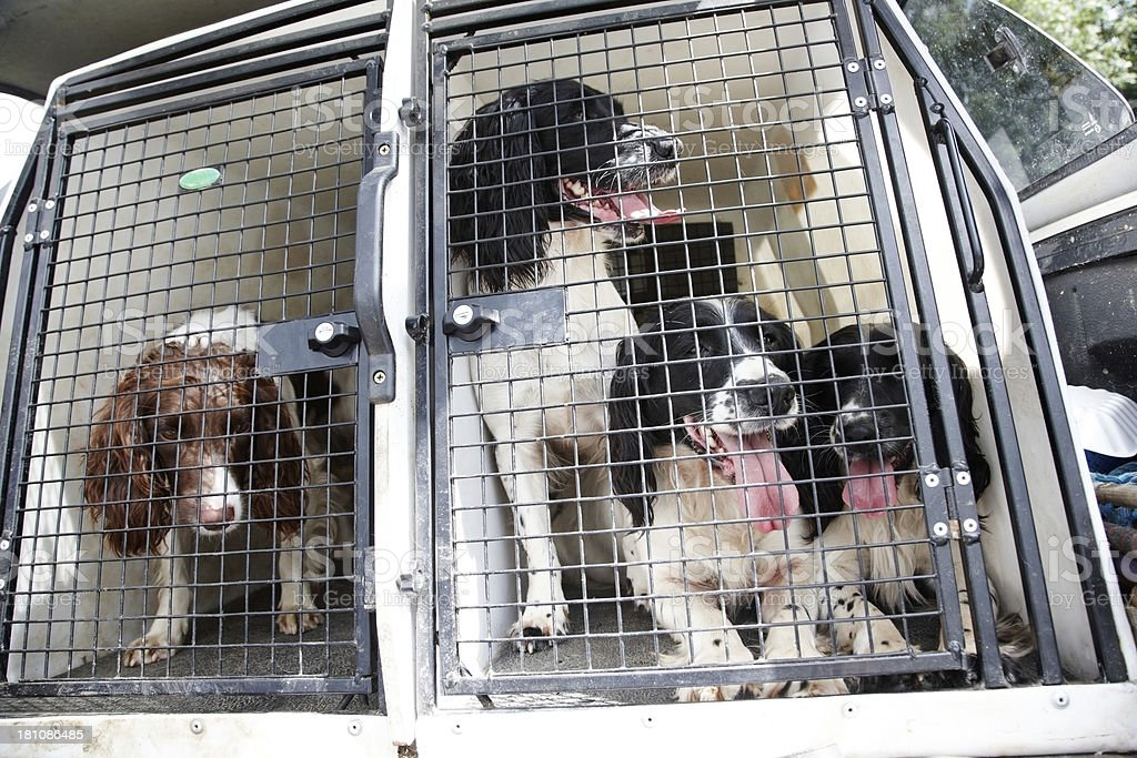 Working spaniels caged in back of pickup truck royalty-free stock photo