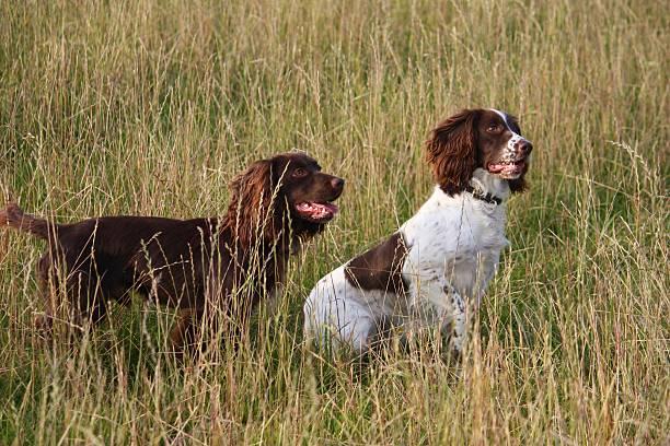 working spaniels in a field of grass - foto de stock
