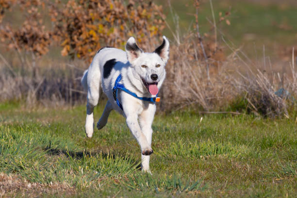 arbeiten trüffel-jagd-hunde spaß galopp als belohnung für ihre fähigkeiten - pilze bestimmen stock-fotos und bilder