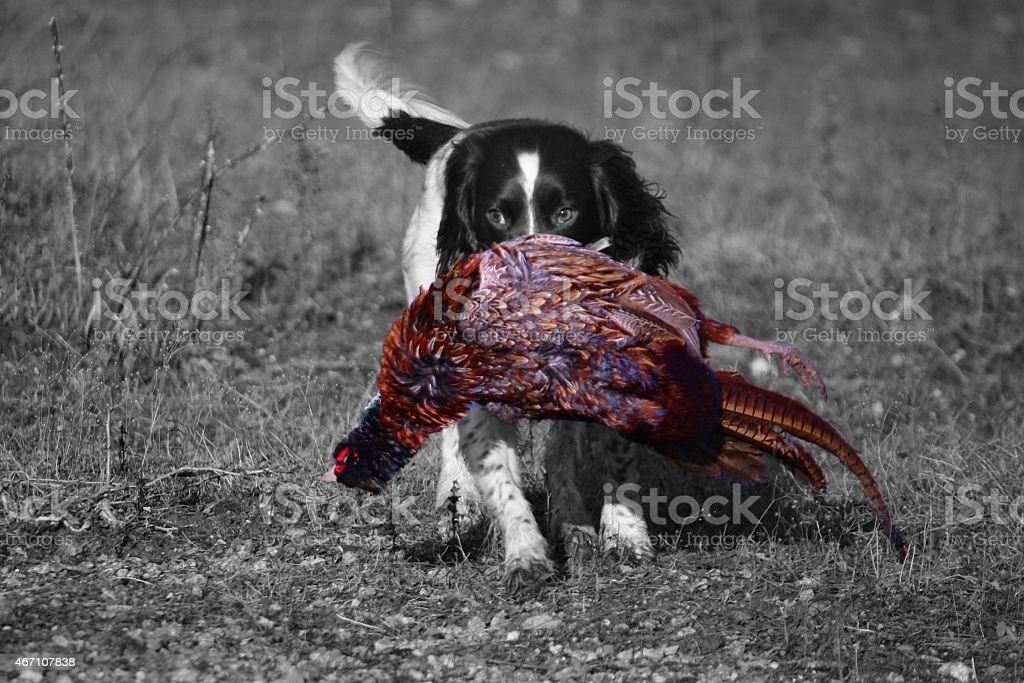 working type english springer spaniel carrying a pheasant stock photo