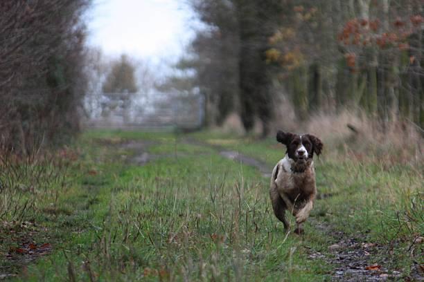 working type english springer spaniel pet gundog running - foto de stock
