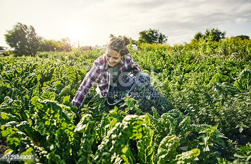 Shot of a young woman picking organically grown vegetables on a farm
