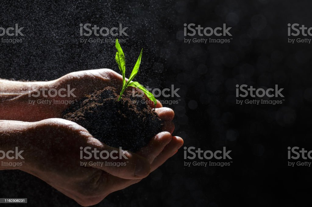 The mans hands holding a small tree. Two hands holding a light green...