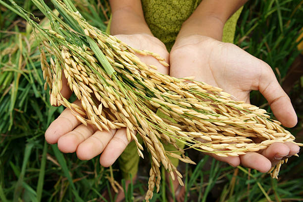 World food security, famine, Asia rice field stock photo