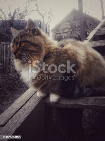 Image of a gray fluffy Siberian cat sitting on a wooden staircase and looking into the distance