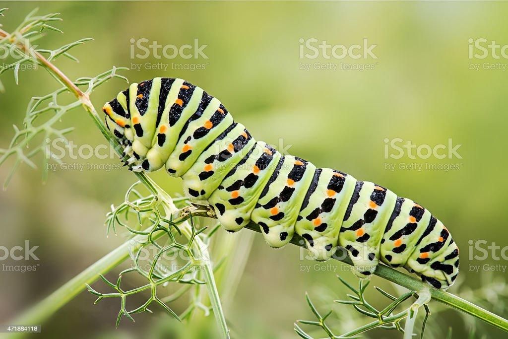 worm butterfly Papilio Machaon stock photo