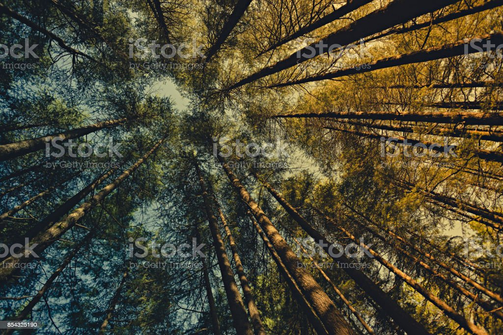 Worm eye view of pine trees in woods at dawn. stock photo