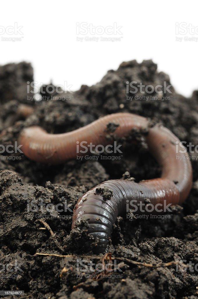 Worm Going Underground stock photo