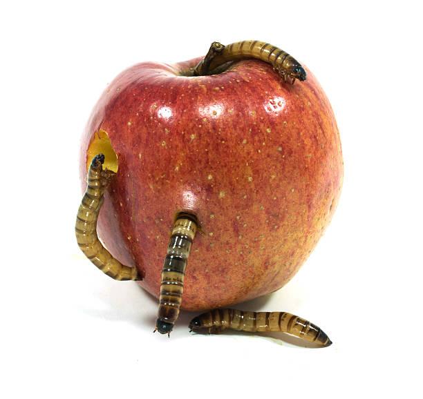 Wurm kommt out bitten apple – Foto