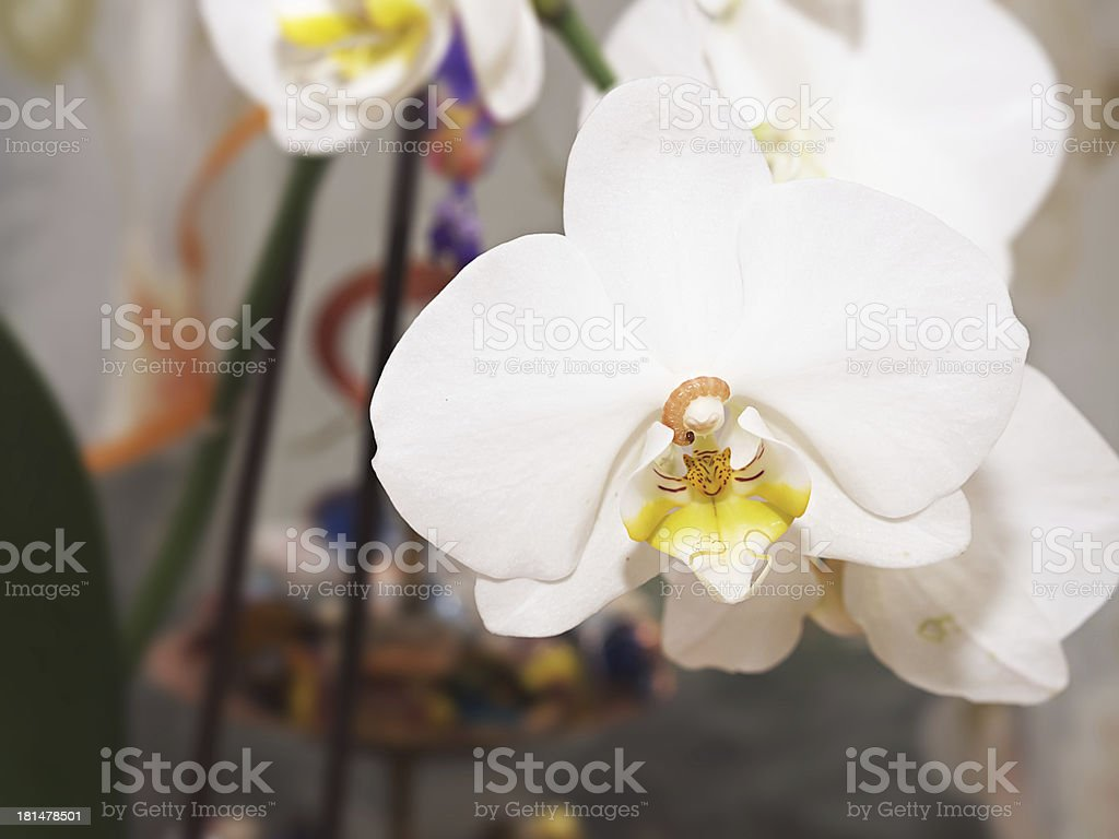 Worm on the orchid royalty-free stock photo