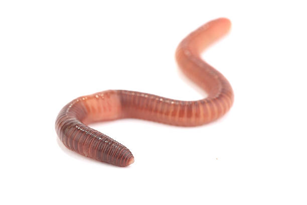worm earth worm isolated on white background worm stock pictures, royalty-free photos & images
