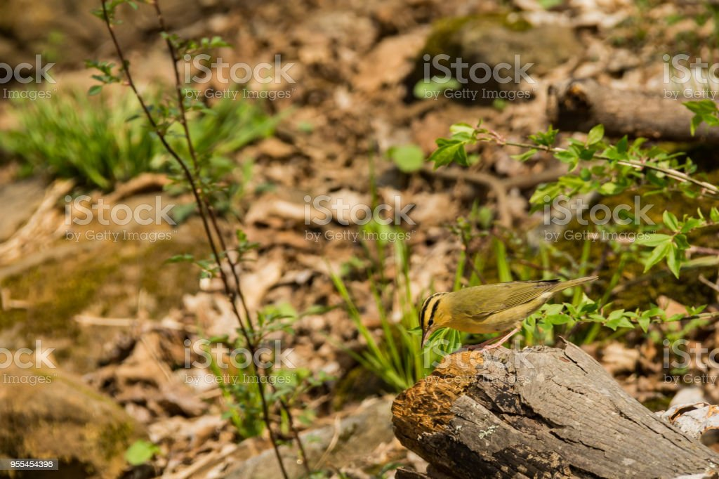 Worm-eating Warbler stock photo